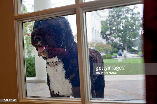 In this photo provided by the White House Bo the Obama family dog peers into the Oval Office from the Colonnade on October 26 2010 in Washington DC