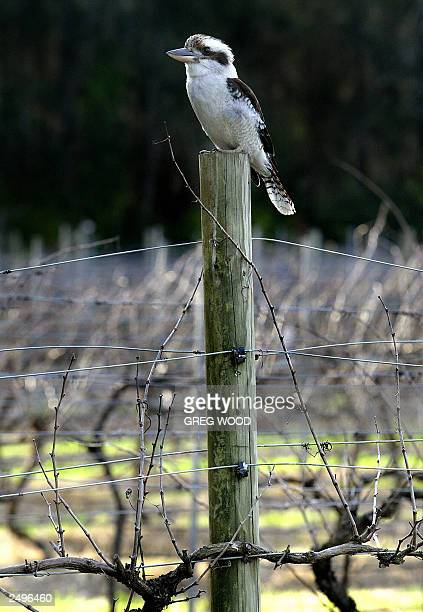 In this photo taken 17 August 2003 a Kookaburra sits on a railing at the Pepper Tree winery in the Hunter Valley Australia's oldest wine growing...