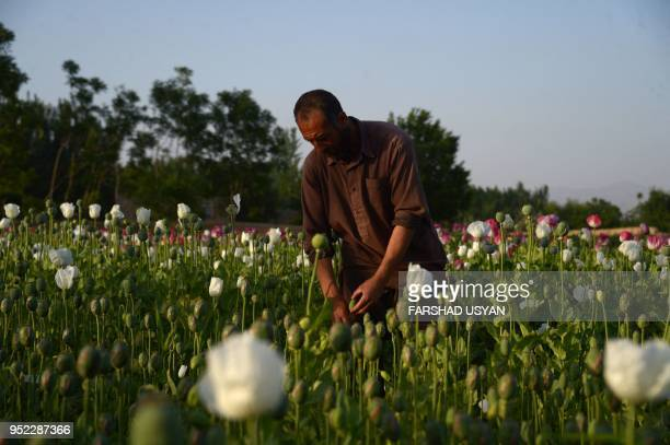 In this photo taken on April 27, 2018 an Afghan farmer harvest opium sap from a poppy field on the outskirts Mazar-i-Sharif. - The US government has...