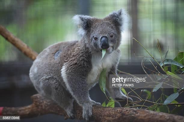 In this photo taken on April 28 a koala feeds at the Koala Hospital in Port Macquarie. The outlook for koala populations on Australia's east coast is...