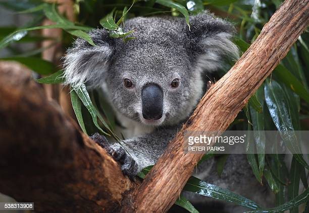 In this photo taken on April 28 a koala who goes by the name of Natf Zenani who's paws are permanently damage from a bush resides at the Koala...