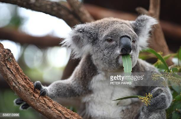 In this photo taken on April 28 a koala who goes by the name of Ocean Summer who is blind from brain damage resides at the Koala Hospital in Port...