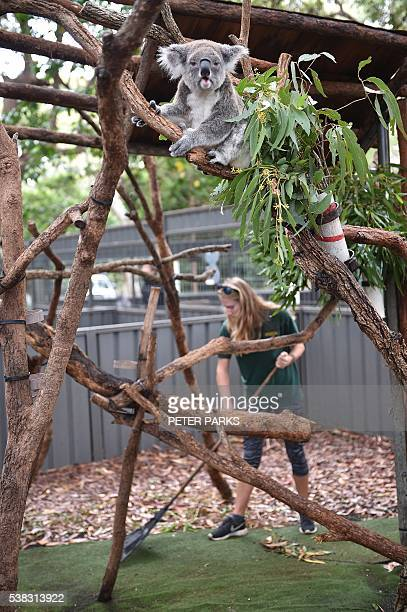 In this photo taken on April 28 a volunteer cleans the pen of a resident koala at the Koala Hospital in Port Macquarie The outlook for koala...