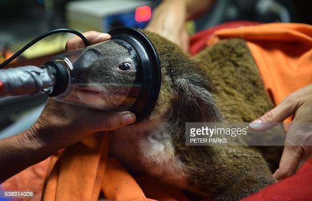 In this photo taken on April 28 Sherwood Robyn a 12yearold koala is given a general anesthetic before being examined by Cheyne Flanagan clinical...