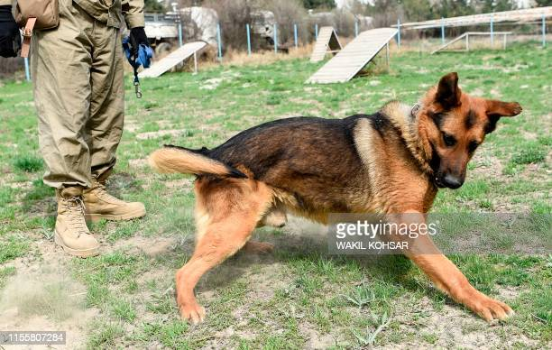 In this photo taken on April 7 an Afghan dog handler trains an explosive detection dog with a ball during a practice session at the Mine Detection...