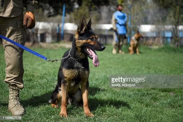 In this photo taken on April 7 an explosive detection dog is kept on leash during a practice session at the Mine Detection Centre in Kabul Naya a...