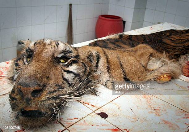 In this photo taken on August 14 2010 the skin of a dead Sumatran tiger lies on a table in a veterinary clinic at Surabaya Zoo after it was skinned...