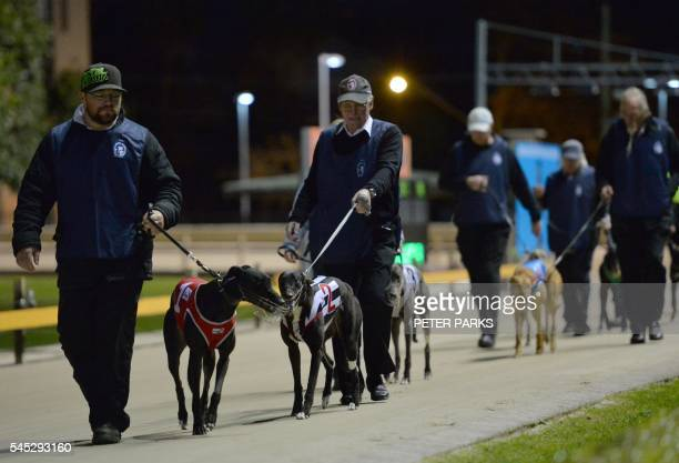 In this photo taken on August 2 2014 show dog owners parading their greyhounds before a race at Wentworth Park in Sydney Australia's greyhound...