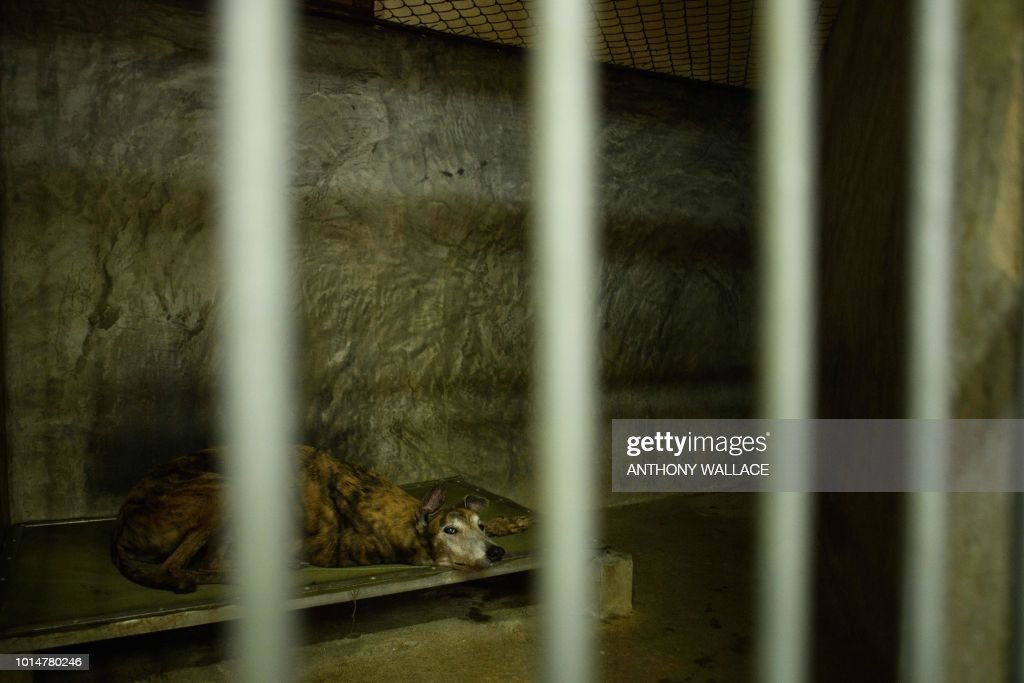 In this photo taken on August 9, 2018, a greyhound rests in its cell-like kennel at the recently shut down Canidrome Club, which was Asia's only legal dog-racing track, in Macau. - Fears for more than 500 greyhounds cooped up at a shuttered racetrack in Macau have been reignited after a plan to rehome them hit red tape. (Photo by Anthony WALLACE / AFP) / To go with AFP story Macau-animal-greyhounds, FOCUS by Laura Mannering