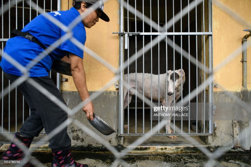 In this photo taken on August 9, 2018, a greyhound watches as a cleaner places a food bowl outside its cell-like kennel at the recently shut down Canidrome Club, which was Asia's only legal dog-racing track, in Macau. - Fears for more than 500 greyhounds cooped up at a shuttered racetrack in Macau have been reignited after a plan to rehome them hit red tape. (Photo by Anthony WALLACE / AFP) / To go with AFP story Macau-animal-greyhounds, FOCUS by Laura Mannering