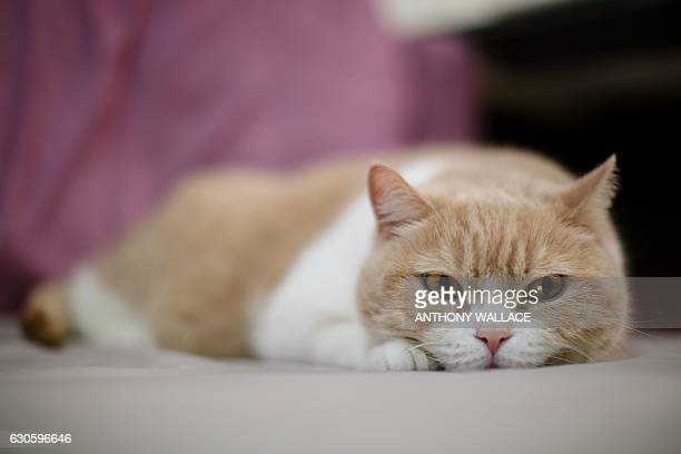 In this photo taken on December 14 male British Shorthair cat 'Tsim Tung Cream Brother' or 'Cream Brother' for short looks on at his owner's flat in...