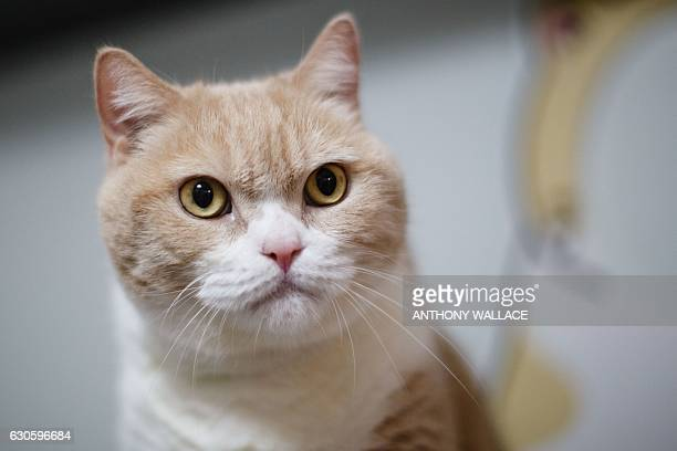 In this photo taken on December 14 male British Shorthair cat 'Tsim Tung Cream Brother' or 'Cream Brother' for short is pictured at his owner's flat...