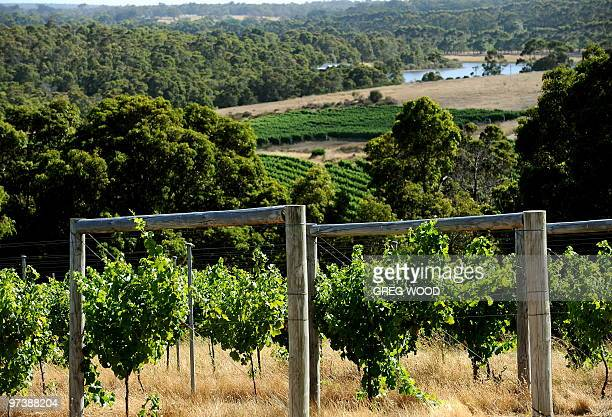 In this photo taken on December 30 2009 vineyards are shown in the internationally renowned Margaret River wine region in the southwest corner of...