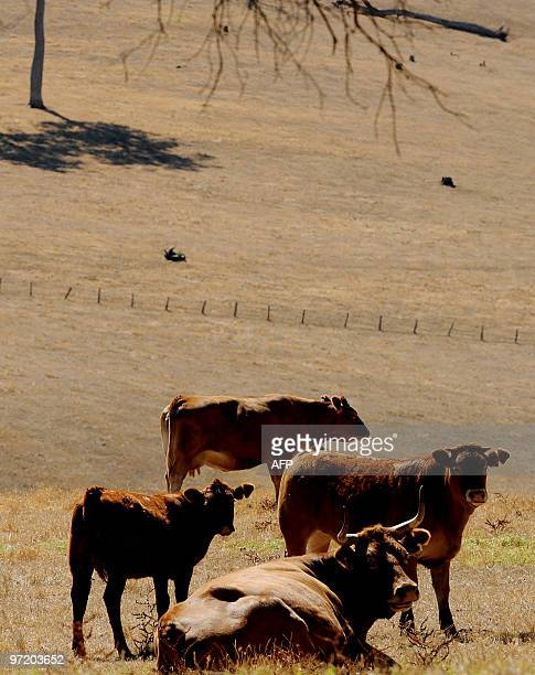In this photo taken on Januray 2 2010 cattle sit on parched farmland near Nannup in the southwest corner of Western Australia Australia's giant...