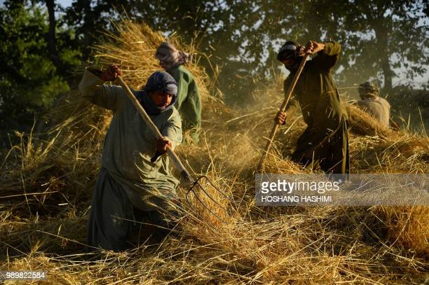 TOPSHOT In this photo taken on July 1 Afghan farmers harvest fresh wheat in a field at Enjil District in Herat province