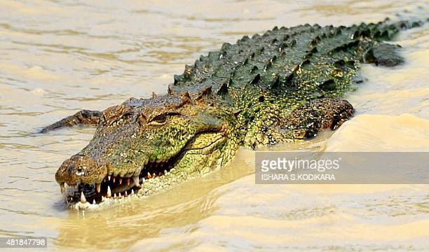 In this photo taken on July 24 a crocodile sunbathes on a river bank at Yala National Park in the southern district of Yala some 250kms southwest of...