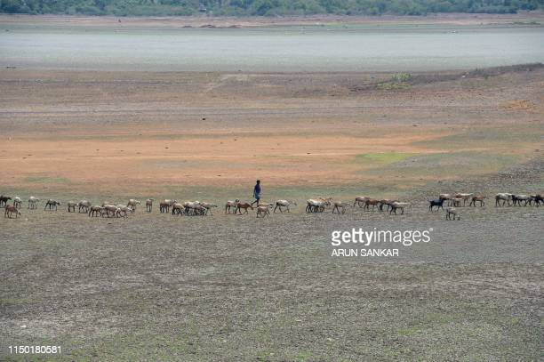 In this photo taken on June 14, 2019 an Indian shepherd walks with their lifestock at the dried out Puzhal reservoir on the outskirts of Chennai. -...