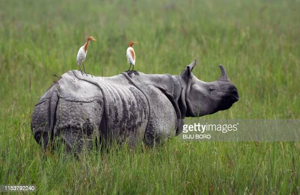 In this photo taken on June 17 egrets sit on a grazing one-horned rhinoceros in Kaziranga National Park, some 220 km from Guwahati, the capital city...