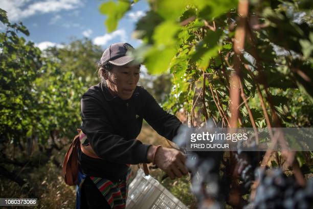 In this photo taken on October 10 a farmer harvests grapes at the Ao Yun vineyards located beneath the Meili mountain in Adong, in southwestern...