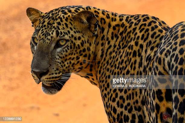 In this photo taken on October 3 a leopard is pictured at the Yala National Park in the southern district of Yala, some 250 km southwest of Colombo.