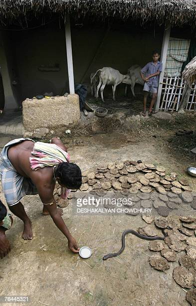 In this photograph dated 18 August 2007 an Indian villager offers milk to a passing snake Jhanglan sliterhering through the courtyard of his mud...