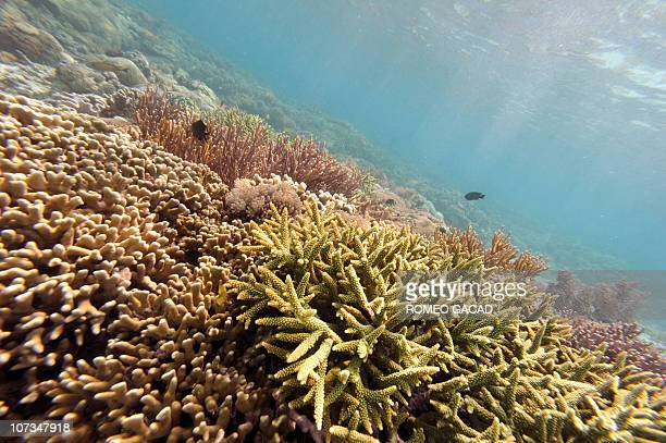 In this photograph taken December 2 a colourful variety of coral growing at Pink Beach off Komodo island The marine ecosystem of Komodo National Park...