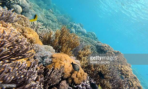 In this photograph taken December 2 a colourful variety of coral at Pink Beach off Komodo island The marine ecosystem of Komodo National Park in...