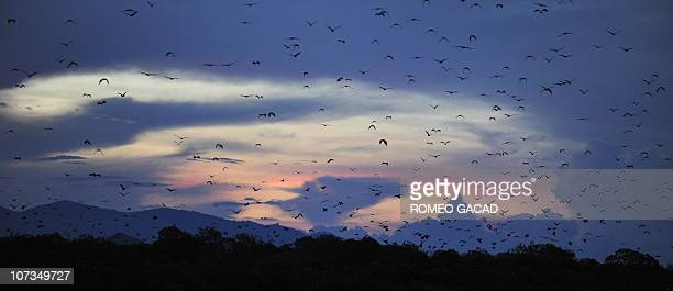 In this photograph taken December 3 2010 a swarm of fruit bats or flying foxes from Kalong Island located in Komodo National Park in Indonesia's East...