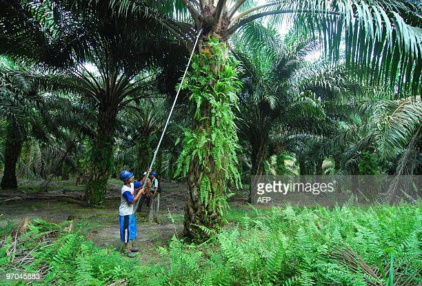 In this photograph taken February 19, 2010 workers harvest oil palm fruits at a plantation in Pangkalan Bun in Central Kalimantan. The oil seed is...