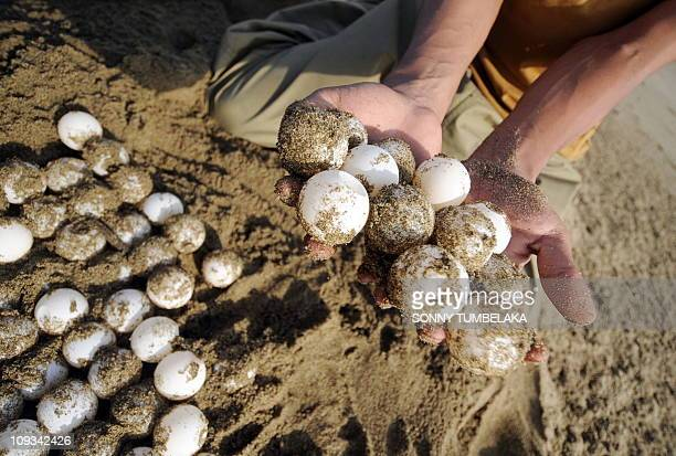 In this photograph taken January 21 2011 newly laid green turtle eggs are collected by park rangers from the natural nesting ground to be hatched and...