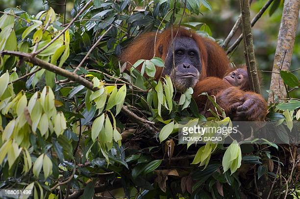 In this photograph taken on April 10 an endangered Sumatran orangutan cradles her baby on a tree top nest in the forest of Bukit Lawang part of the...