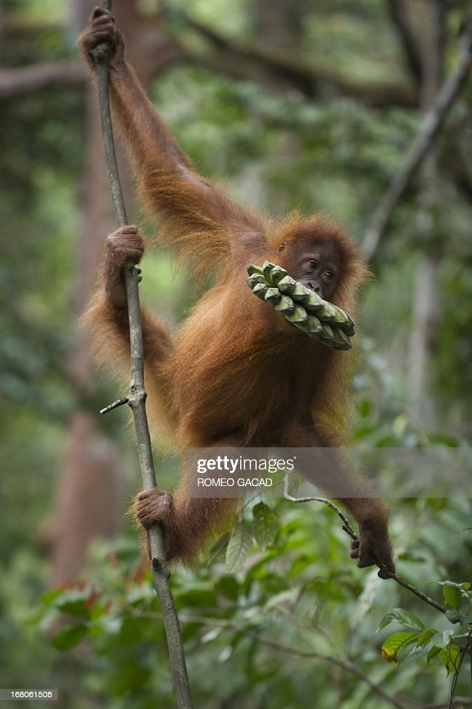 In this photograph taken on April 10, 2013, an endangered Sumatran orangutan clings on a vine while carrying bananas handed by a forest ranger in the forest of Bukit Lawang, part of the vast Leuser National Park, its rainforests occupying areas of the two provinces of North Sumatra and Aceh located in Indonesia's Sumatra island. Alarm is growing at a plan that would open up new swathes of forest on Sumatra island to mining, palm oil and paper companies, which could put orangutans and other critically endangered species at even greater risk.