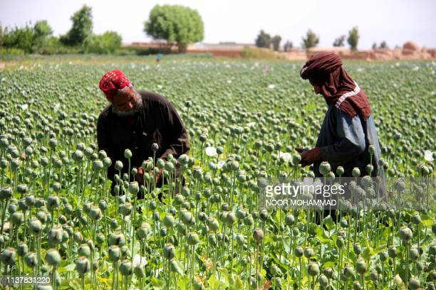 In this photograph taken on April 13 Afghan farmers harvest opium sap from a poppy field in the Gereshk district of Helmand province Afghanistan is...