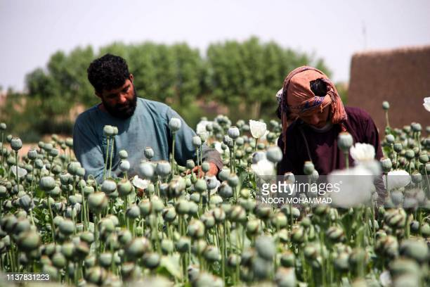 TOPSHOT In this photograph taken on April 13 Afghan farmers harvest opium sap from a poppy field in the Gereshk district of Helmand province...