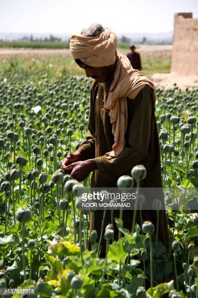 In this photograph taken on April 13 an Afghan farmer harvests opium sap from a poppy field in the Gereshk district of Helmand province Afghanistan...