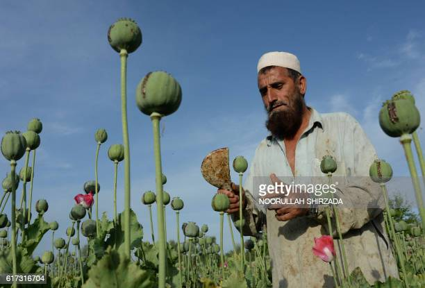 In this photograph taken on April 19 an Afghan farmer harvests opium sap from a poppy field in the Chaparhar district of Nangarhar province...