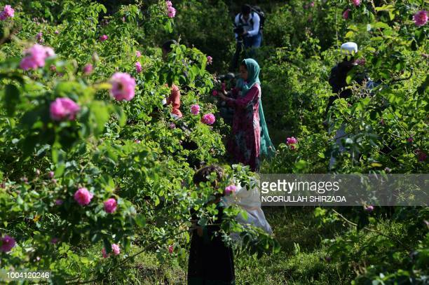 TOPSHOT In this photograph taken on April 24 Afghan farmers harvest rose petals from a rose garden near Jalalabad in the DaraiNoor district of...