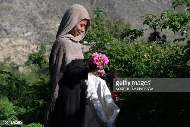 TOPSHOT In this photograph taken on April 24 an Afghan farmer harvests rose petals from a rose garden near Jalalabad in the DaraiNoor district of...