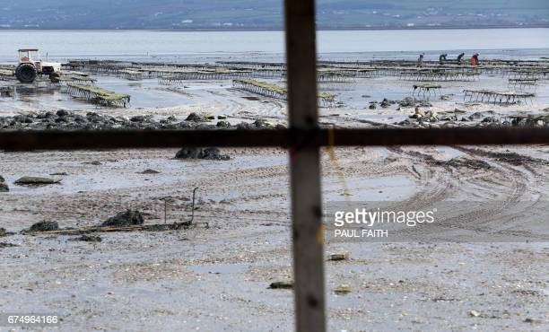 In this photograph taken on April 26 farmers work on an oyster farm at Ture in Co Donegal on Lough Foyle, on the border with Northern Ireland and...