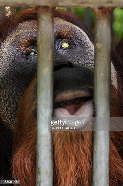In this photograph taken on April 8 a blind Sumatran orangutan named 'Leuser' recovers from pellet wounds after partial surgery at the quarantine...