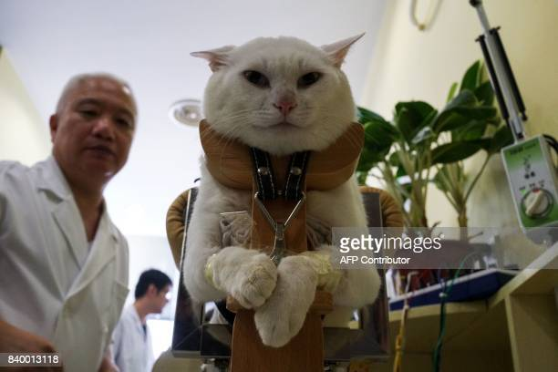 In this photograph taken on August 26 a partially paralysed cat receives acupuncture treatment at the Shanghai Traditional Chinese Medicine Neurology...