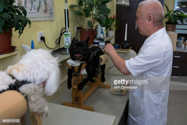 In this photograph taken on August 26 a partially paralysed dog receives acupuncture treatment at the Shanghai Traditional Chinese Medicine Neurology...