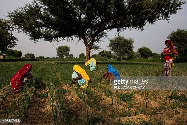 In this photograph taken on August 28 Indian residents tend to an onion crop near Chilori village Reni some 55 kms from Alwar in the state of...