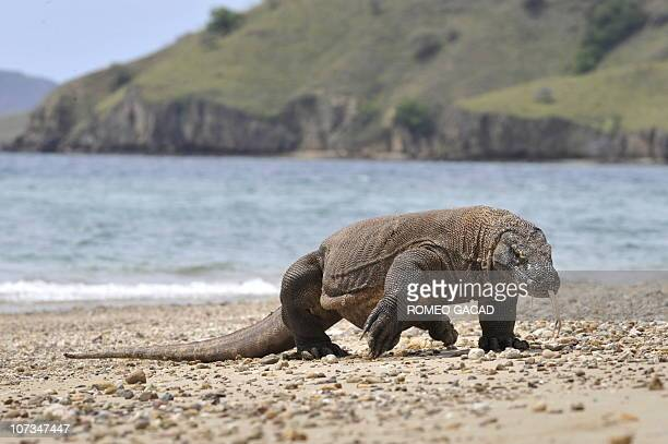 In this photograph taken on December 2 2010 a Komodo dragon prowls the shore of Komodo island the natural habitat of the world's largest lizard...