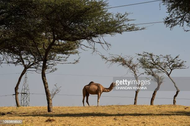 In this photograph taken on December 5 a camel grazes on a camel research farm in Bikaner in India's western state of Rajasthan Once dubbed the...