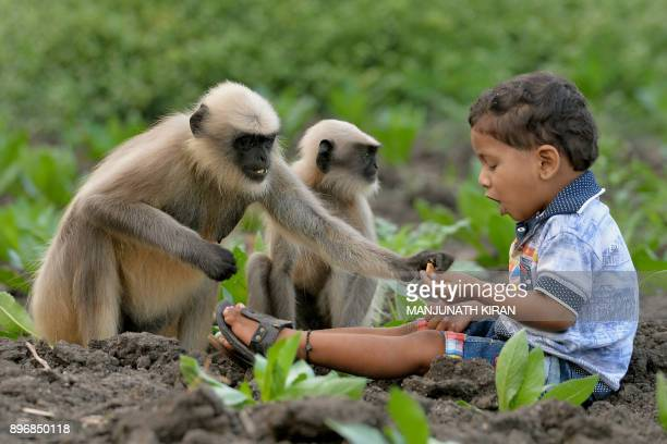 In this photograph taken on December 7 Indian child Samarth Bangari feeds langur monkeys in a field near his home in Allapur in India's southwest...