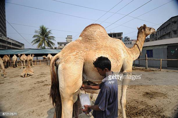 In this photograph taken on February 24 2009 a worker milks a camel on a camel farm nestled between highrise offices in the heart of the bustling...