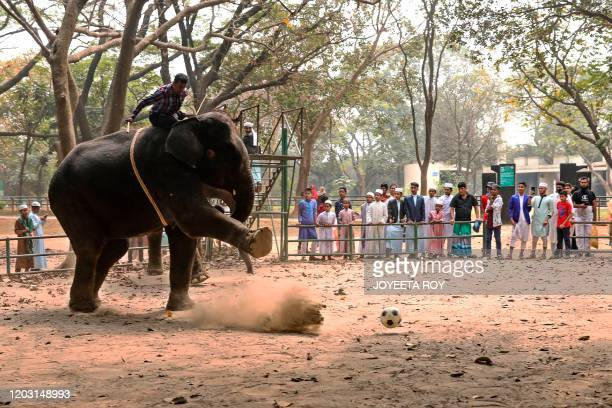 In this photograph taken on February 24, 2020 a mahout rides an elephant during a soccer game at Dhaka Zoo, in Dhaka. - Bangladesh's biggest zoo has...