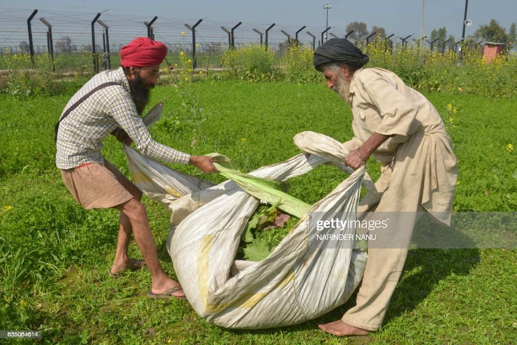 In this photograph taken on February 7 Indian farmer Lakhwinder Singh with his son Gurnam Singh bundles up harvested fodder for their cattle in a...