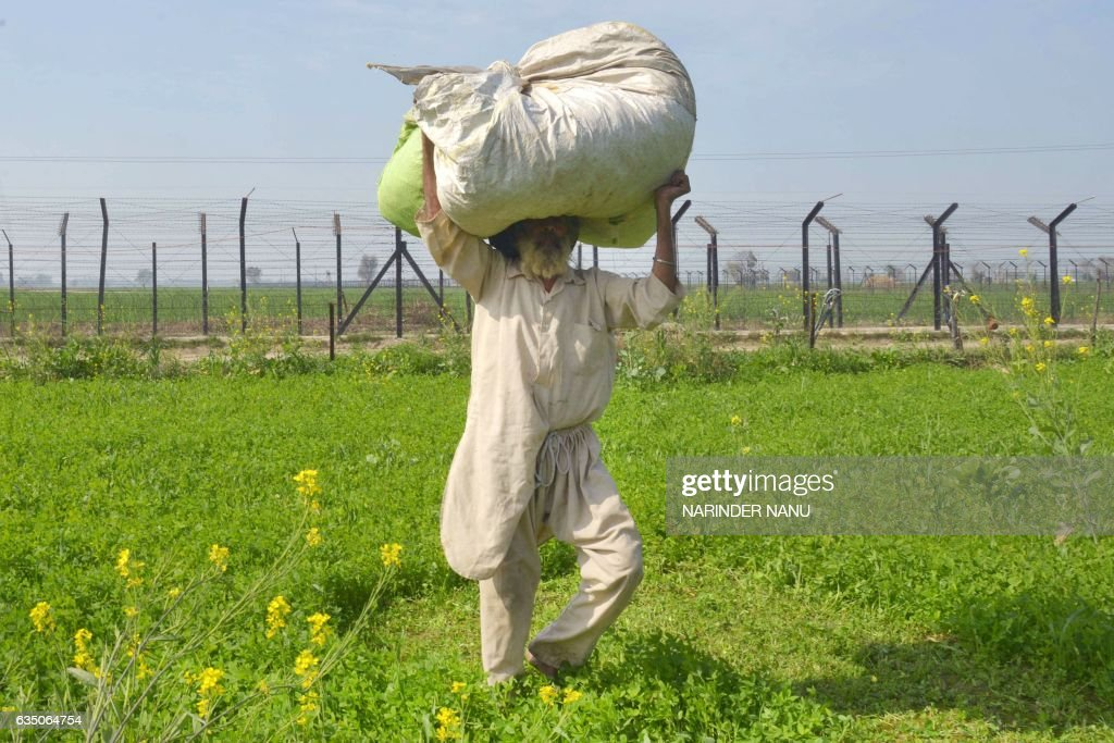 In this photograph taken on February 7 Indian farmer Lakhwinder Singh carries a bundle of fodder for his cattle in a field beside the IndiaPakistan...